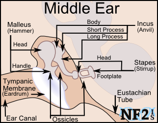 Middle Ear, Middle Ear,  					Hammer, Head, Handle, Malleus, Tympanic Membrane, eardrum, ear canal, ossicles, Eustachian Tube, body, short process, long process,  					anvil, incus, footplate, staples, stirrup