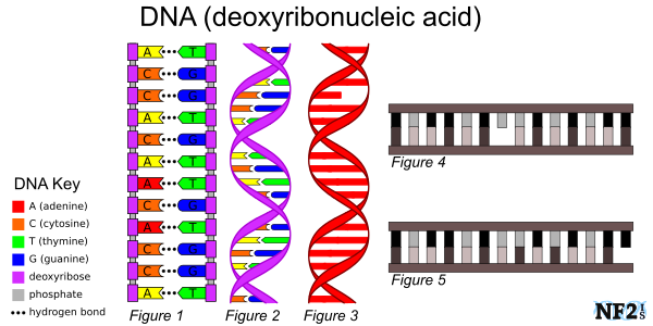 DNA, RNA, Helix, Damage