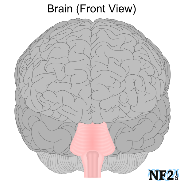 brain frontal view