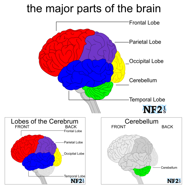 brain stem, spinal cord, brain matter, Brain Sections, 4 Lobes, Frontal Lobe, Parietal Lobe, Occipital Lobe, Cerebellum, Temporal Lobe, Cerebrum, brain, color