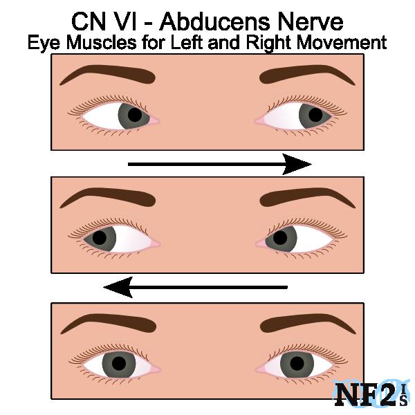 Cranial Nerves - Eye