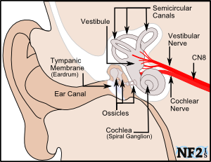 Vestibular balance issues cranial nerve 8 ccuart Images