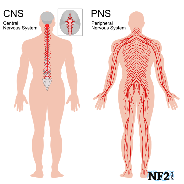 Peripheral Nerve System Damage