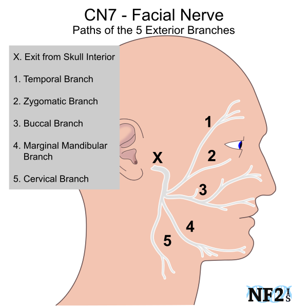 nerve and facial nerve